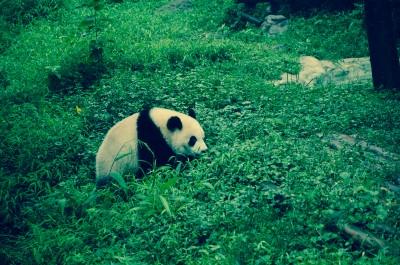 Panda à Chengdu